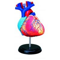 """Объемная анатомическая модель """"Сердце человека"""" модель 26052"""