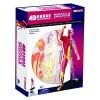 Объемная анатомическая модель Мышцы человека , 4D Master 26058