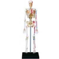 Объемная анатомическая модель Скелет человека , 4D Master 26059