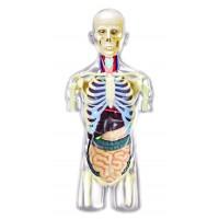 """Объемная анатомическая модель """"Торс человека - прозрачный"""""""