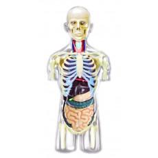Объемная анатомическая модель Торс человека - прозрачный , 4D Master 26068