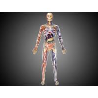 Объемная анатомическая модель Тело человека - прозрачное, 4D Master 26070