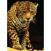 Пазл  Леопард 1000 элементов, EuroGraphics 6000-1163